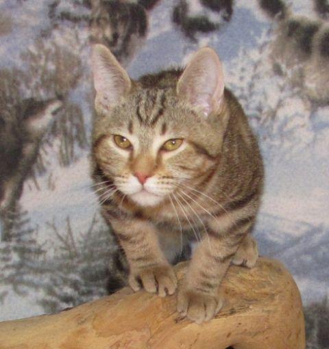 kucing-american-bobtail-49