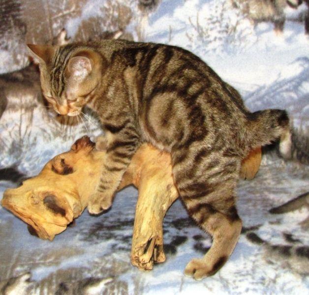 kucing-american-bobtail-5