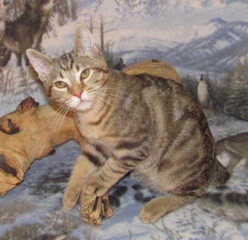 kucing-american-bobtail-50