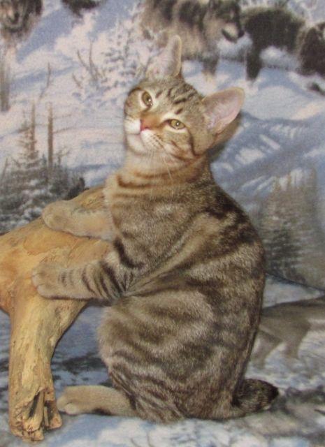 kucing-american-bobtail-51