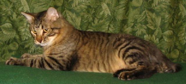kucing-american-bobtail-53