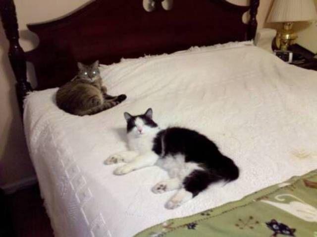 kucing-american-bobtail-56