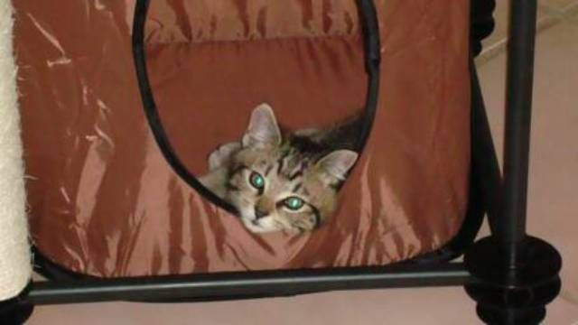 kucing-american-bobtail-57