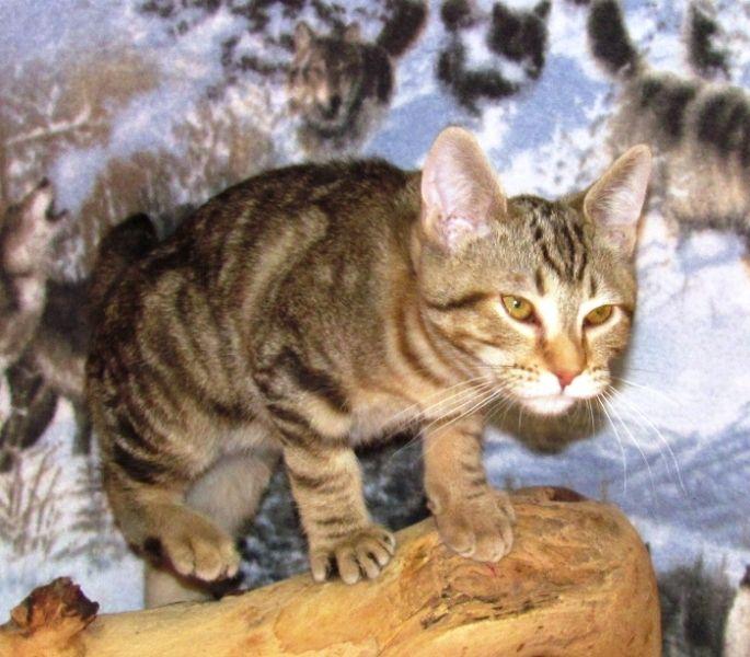 kucing-american-bobtail-6