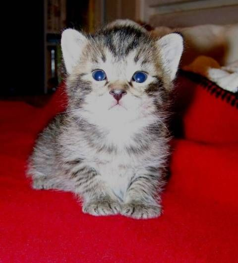 kucing-american-bobtail-62