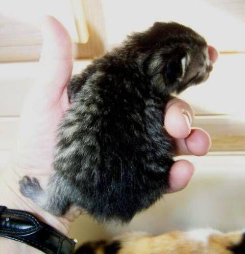 kucing-american-bobtail-63