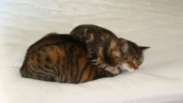 kucing-american-bobtail-65