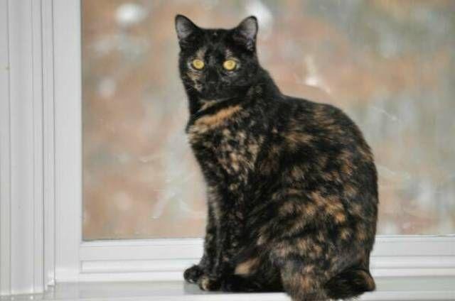 kucing-american-bobtail-67