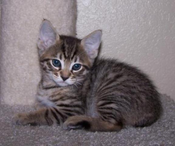kucing-american-bobtail-69