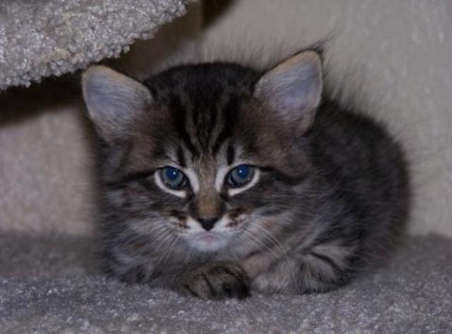 kucing-american-bobtail-70