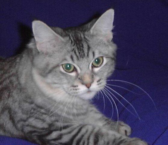 kucing-american-bobtail-71
