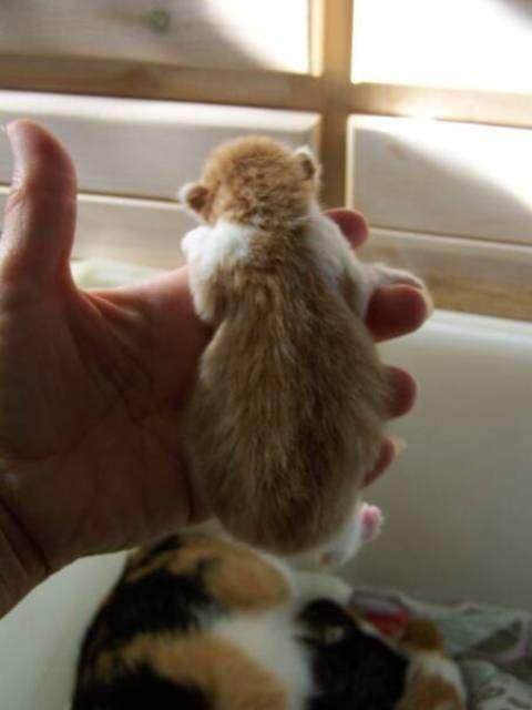 kucing-american-bobtail-72