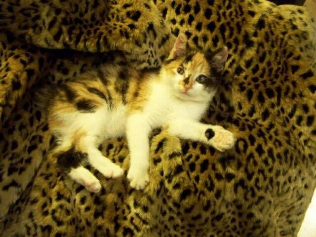 kucing-american-bobtail-73