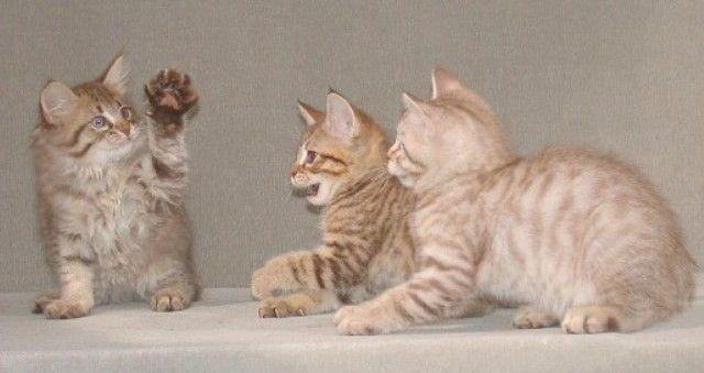 kucing-american-bobtail-74