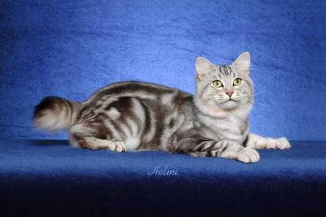 kucing-american-bobtail-76