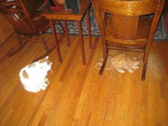 kucing-american-bobtail-77