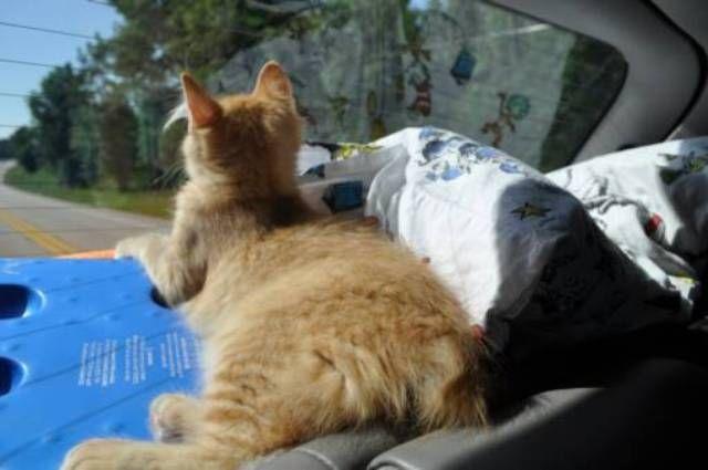 kucing-american-bobtail-78