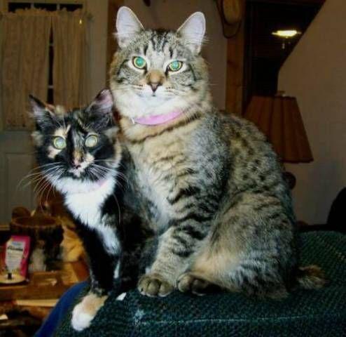 kucing-american-bobtail-79