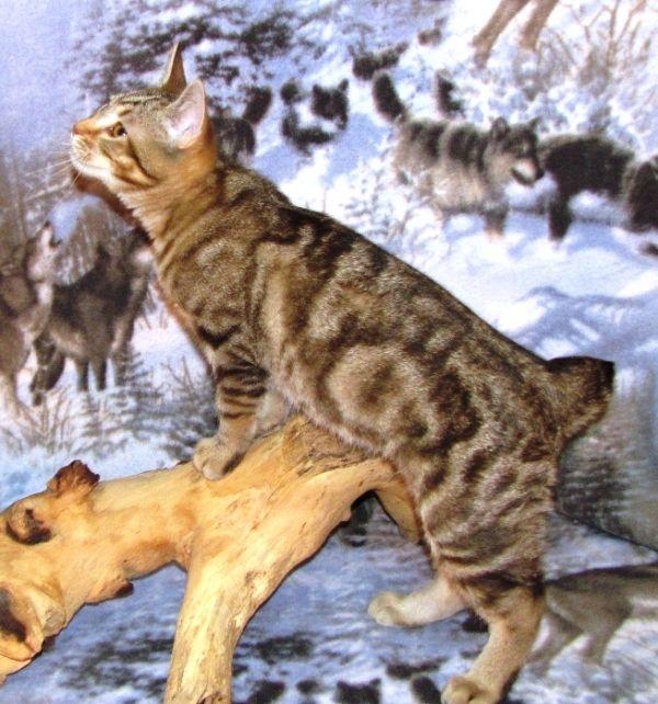 kucing-american-bobtail-8