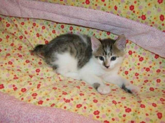 kucing-american-bobtail-81