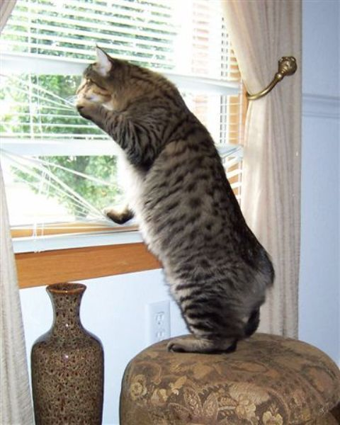 kucing-american-bobtail-85