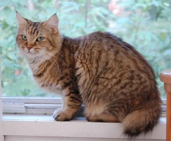 kucing-american-bobtail-86