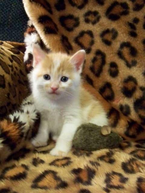 kucing-american-bobtail-87