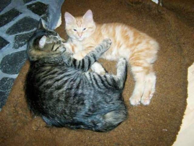 kucing-american-bobtail-89