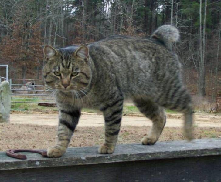 kucing-american-bobtail-9