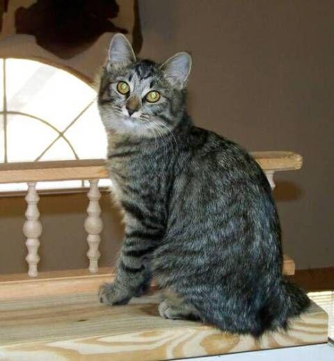 kucing-american-bobtail-92