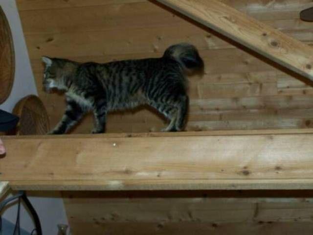 kucing-american-bobtail-94