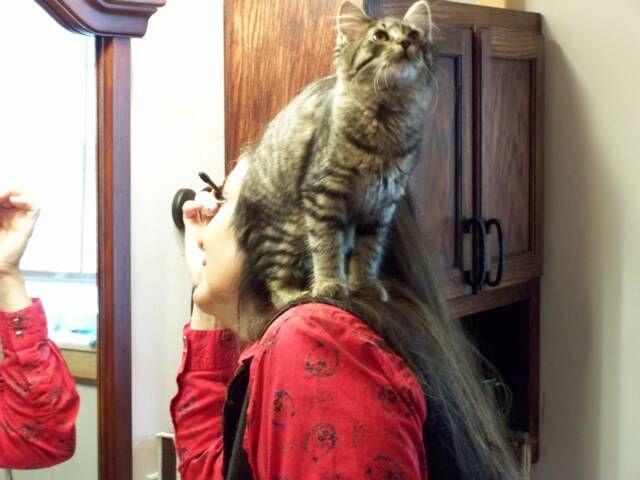 kucing-american-bobtail-95