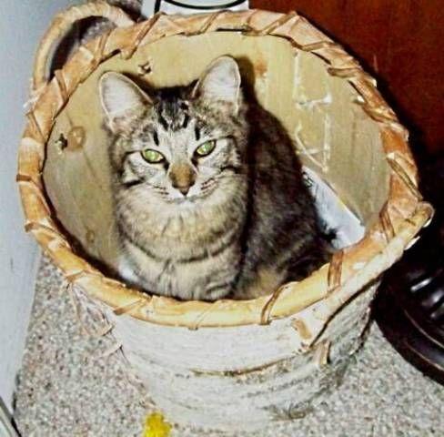 kucing-american-bobtail-96