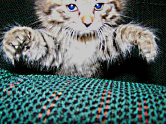 kucing-american-bobtail-97