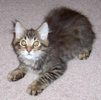 kucing-american-bobtail-lh-319