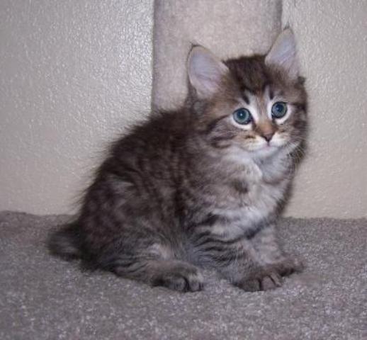 kucing-american-bobtail-lh-322
