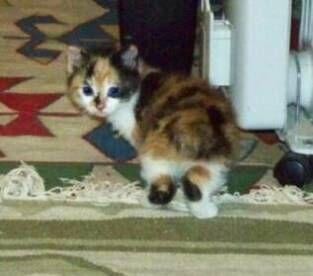 kucing-american-bobtail-lh-323