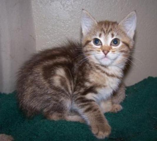 kucing-american-bobtail-lh-324