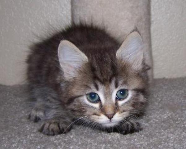 kucing-american-bobtail-lh-325