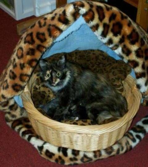 kucing-american-bobtail-lh-326