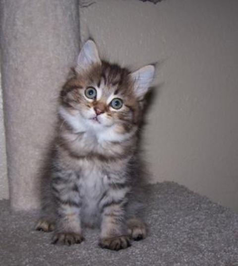 kucing-american-bobtail-lh-327