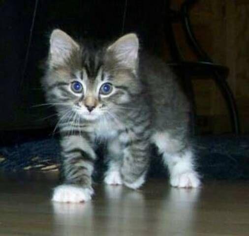 kucing-american-bobtail-lh-330