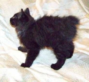 kucing-american-bobtail-lh-331