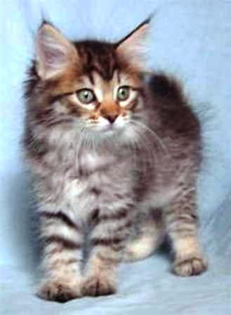 kucing-american-bobtail-lh-333