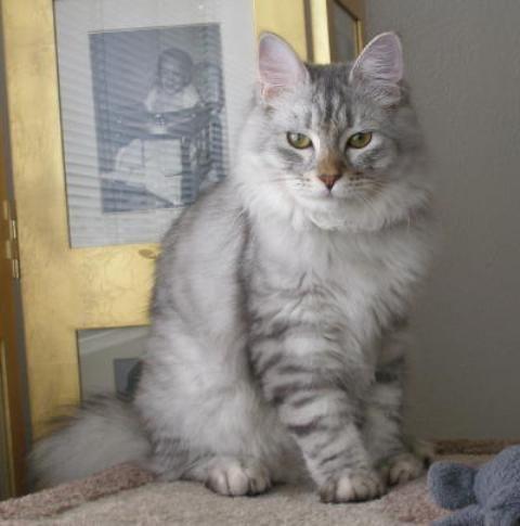 Gambar dan ciri-ciri kucing American Bobtail