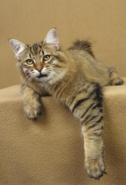 kucing-american-bobtail-lh-335