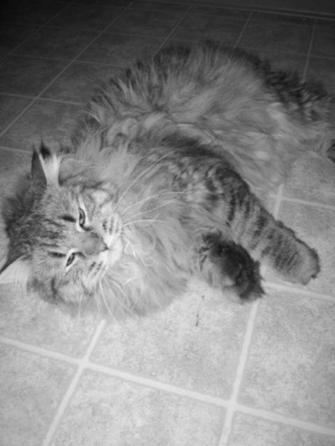kucing-american-bobtail-lh-336