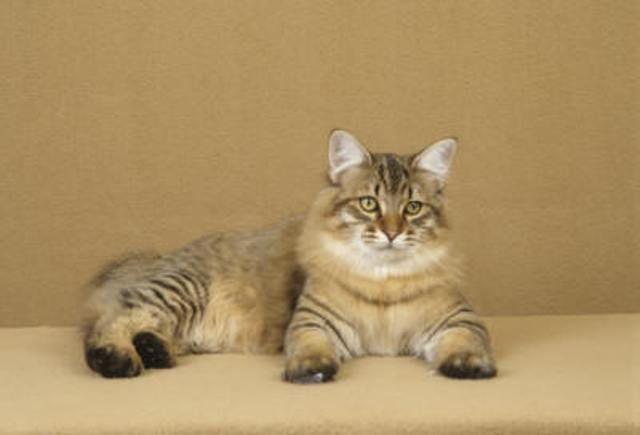 kucing-american-bobtail-lh-337