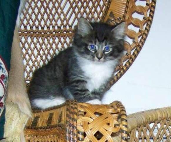 kucing-american-bobtail-lh-346