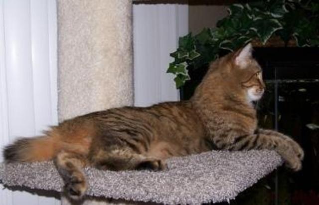 kucing-american-bobtail-lh-348
